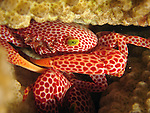 Orchid Island, Taiwan -- A trapezia crab (trapezia wardi), hiding in coral branches.<br /> <br /> This crab lives symbiotically with certain corals and hides deep within the coral branches to avoid predators.