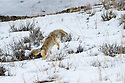 Adult Coyote (Canis latrans) hunting for rodents in snow. Lamar River Valley, Yellowstone National Park, Wyoming, USA.