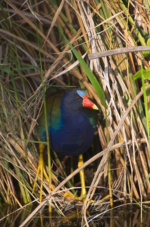 USA, Florida, Everglades NP, American Purple Gallinule