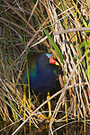USA, Florida, Everglades NP, American Purple Gallinule
