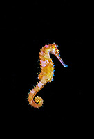 spiny seahorse or thorny seahorse, Hippocampus histrix, Lembeh Strait, Celebes Sea, Sulawesi, Indonesia, Pacific Ocean
