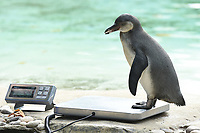 Penguins<br /> at the London Zoo annual Weigh-In, Regents Park, London<br /> <br /> <br /> ©Ash Knotek  D3296  24/08/2017