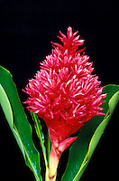 A bright red bract of Tahitian ginger (Alpina purpurata) in full bloom