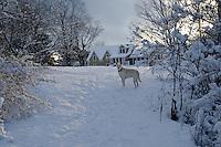 Lacy dog in snow near house, Maine, USA
