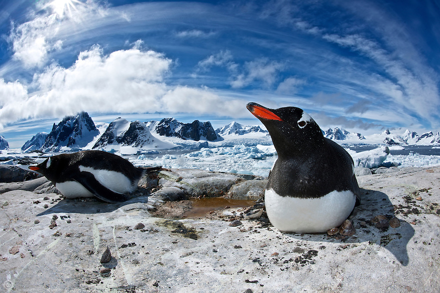 Two gentoo rest on their nests on a sunny day on Peterman Island.