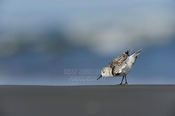 Sanderling (Calidris alba), adult preening, Port Aransas, Mustang Island, Texas Coast, USA