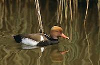 Kolbenente, Kolben-Ente, Männchen, Erpel im Prachtkleid, Netta rufina, red-crested pochard