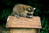 MA22-014x  Raccoon - young raccoon exploring bird feeder  - Procyon lotor