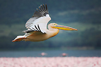Eastern White Pelican (Pelecanus onocrotalus) adult in flight, Lake Nakuru, Kenya, Africa