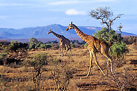 Reticulated Giraffe (Giraffa camelopardalis).  Northern Kenya.