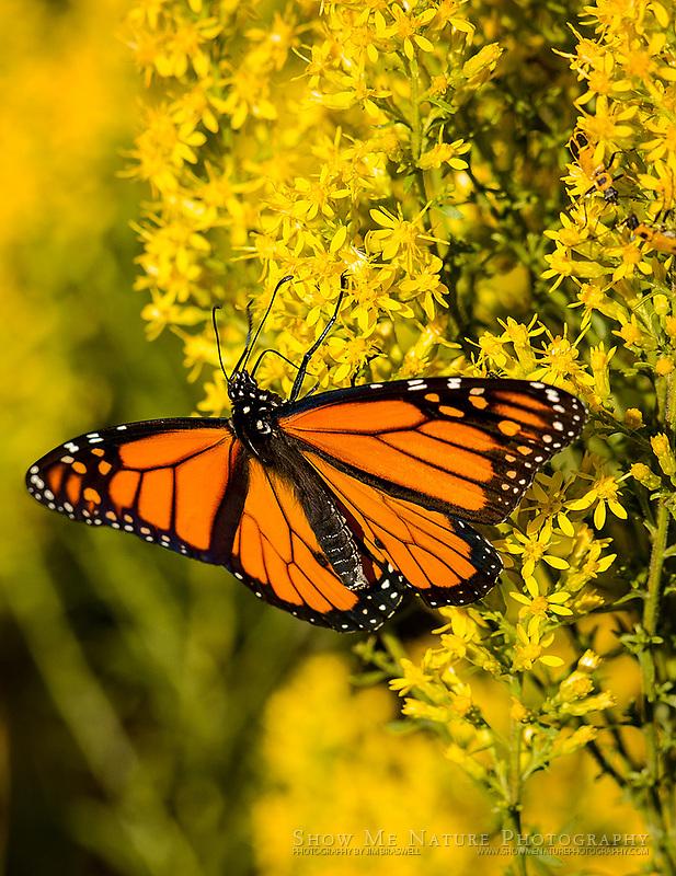 Monarch feeding on nectar from Showy Goldenrod wildflower