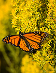 Monarch feeding on nectar from Showy Goldenrod wildflower