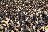 King Penguins at Sandy Bay, Macquarie Island, Antarctica