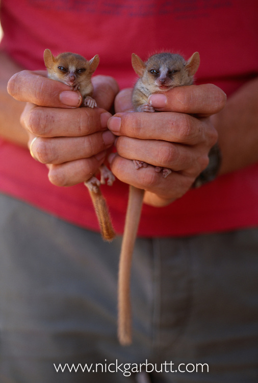 Madame Berthe's mouse lemur (Microcebus berthae) and grey mouse lemur (Microcebus murinus). Kirindy forest, western Madagascar. (world's smallest primate)