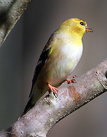 Male Ameriucan goldfinch in February, just starting to get black cap