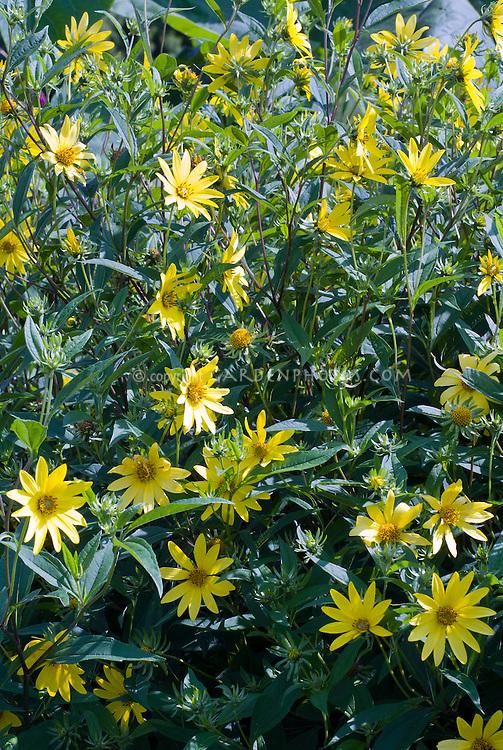 Helianthus 'Lemon Queen' perennial sunflower