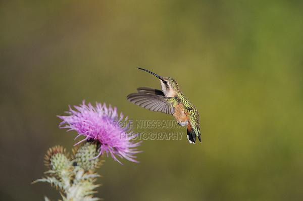 Lucifer Hummingbird (Calothorax lucifer), female feeding on Texas thistle (Cirsium texanum), Chisos Basin, Chisos Mountains, Big Bend National Park, Chihuahuan Desert, West Texas, USA