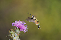 Lucifer Hummingbird (Calothorax lucifer), female feeding on Texas thistle (Cirsium texanum), Chisos Basin, Chisos Mountains, Big Bend National Park, Chihuahuan Desert, West Texas, USA
