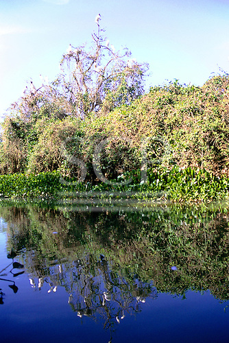 Pantanal, Mato Grosso, Brazil. Large white birds in the trees overlooking the river; typical Pantanal scene.