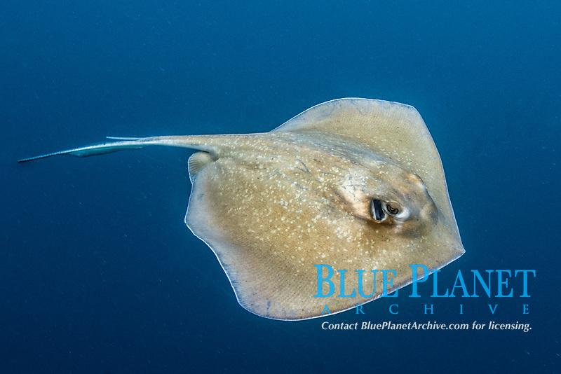 southern stingray, Hypanus americanus (formerly Dasyatis americanus), Livingston, Guatemala, Caribbean Sea, Atlantic Ocean