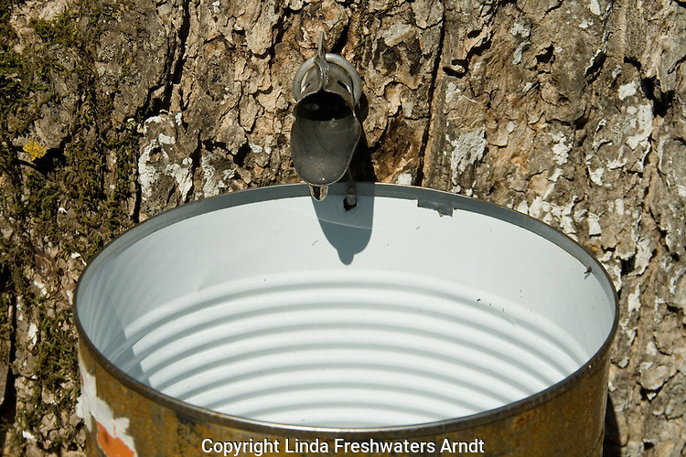 Tapping sugar maple in the spring