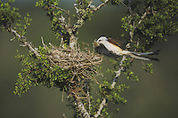 Scissor-tailed Flycatcher, Tyrannus forficatus, female landing with nesting material on nest, Rio Grande Valley, Texas, USA