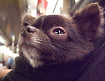 Dog being carried in pouch on NYC Subway