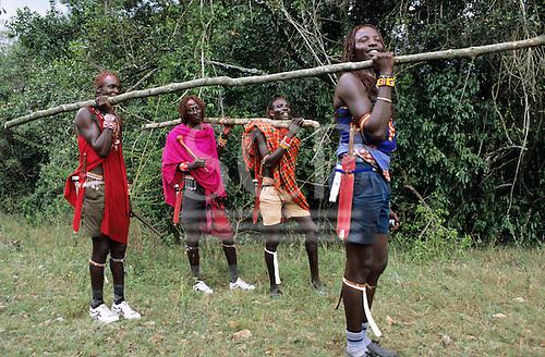 Lolgorian, Kenya. Siria Maasai; four moran warriors bringing timber for building the magic house for Eunoto coming of age ceremony.