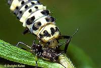1C02-003b  Ladybug larva feeding on aphids