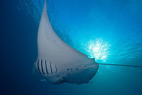 reef manta ray, Manta alfredi, feeding on plankton, German Channel, Palau, Micronesia, Pacific Ocean
