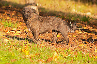 The truffles hunting sniffing dog called Mocha Truffiere de la Bergerie (Truffière) truffles farm Ste Foy de Longas Dordogne France