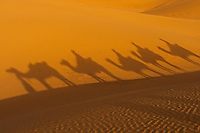 Shadows of Camels - Camels and tribal people in the Thar Desert Rajasthan, India