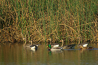 Mallard Ducks (Anas platyrhynchos) with Greater White-fronted Geese (Anser albifrons) in Western U.S. marsh.  Fall.