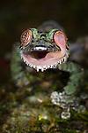 Mossy Leaf-tailed Gecko (Uroplatus sikorae) cleaning eye with tongue. Forest understorey at night. Masoala National Park, Madagascar.