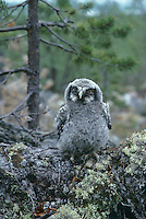 Sperbereule, Küken, Ästling, Jungvogel, Sperber-Eule, Surnia ulula, hawk owl, hawk-owl