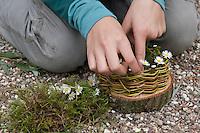 Mädchen, Kind baut ein Osternest aus Baumscheibe, Weidenästchen, Moos, Gänseblümchen und bunten Ostereiern; 5. Schritt: Das Körbchen wird mit Gänseblümchen verziert