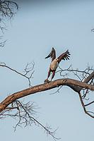 Africa, Botswana, Okavango Delta, Khwai private  reserve. African fish eagle.