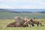 NOTE FOR ONLINE:  MAXIMUM OF 10 IMAGES TO BE USED FROM SET - UNLESS OTHERWISE AGREED.<br /> <br /> Sequence 9 of 16:  Cheetahs are forced to sit and watch hyenas eat their hard-fought kill after they arrived late and claimed it for their own.  The unlucky coalition of five cheetahs spent 30 minutes hunting and killing the zebra at the Masai Mara National Reserve, Kenya.<br /> <br /> But, just as the group of siblings were about to eat their prey, opportunistic hyenas arrived and claimed the carcass as their own. SEE OUR COPY FOR DETAILS.<br /> <br /> Please byline: Patrick Kientz/Naturagency/Solent News<br /> <br /> © Patrick Kientz/Naturagency/Solent News & Photo Agency<br /> UK +44 (0) 2380 458800