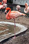caribbean flamingo standing in zoo enclosure, vertical