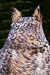 Great horned owl, Seattle, Washington