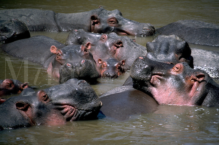 Group of Hippopotamuses bathe in the Mara River, Masai Mara, Kenya.  A hippo can run much faster than a person and be extremely dangerous. Masai Mara, Kenya, Africa.