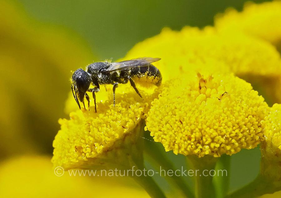 Löcherbiene, Gemeine Löcherbiene, Gewöhnliche Löcherbiene, Löcherbienen, Blütenbesuch an Rainfarn, Heriades truncorum, Osmia truncorum, Large-headed Resin-Bee, Ridge-Saddled Carpenter-Bee