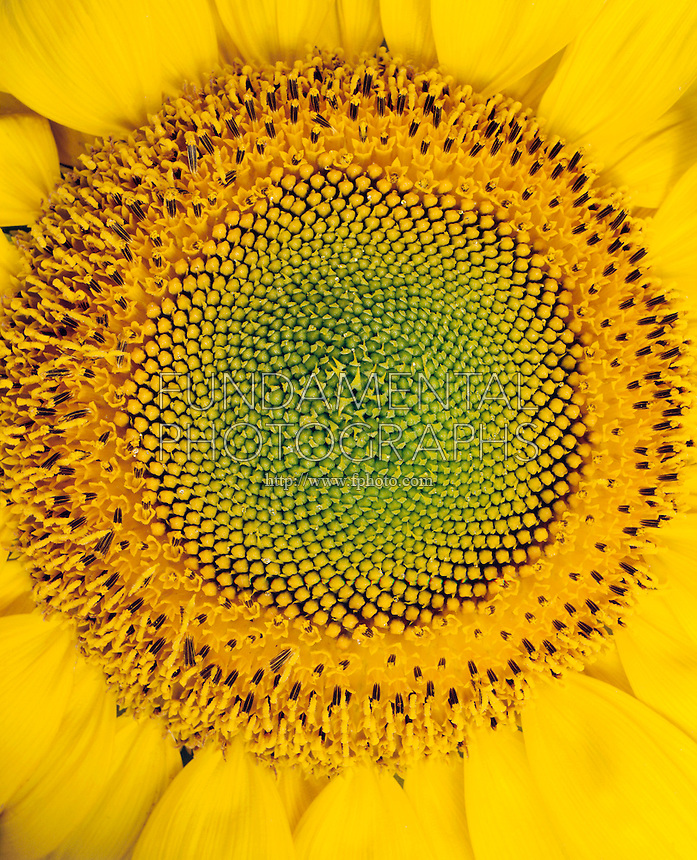SUNFLOWER - Under White Light<br /> (1 of 2)<br /> The seed pattern is an example of the Fibonacci sequence