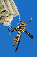 Paper Wasp, Polistes sp., adult on nest, Lake Corpus Christi, Texas, USA