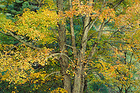 Fall maple tree, autumn. Virginia USA Blue Ridge Parkway.
