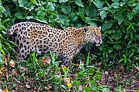 Animais. Mamiferos. Onca pintada (Panthera onca) no Pantanal. 2011. Foto Manuel Lourenço