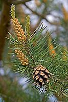 Wald-Kiefer, Waldkiefer, Gemeine Kiefer, Kiefern, Föhre, Zapfen, Kieferzapfen, Kiefernzapfen, Pinus sylvestris, Scots Pine, Le Pin sylvestre