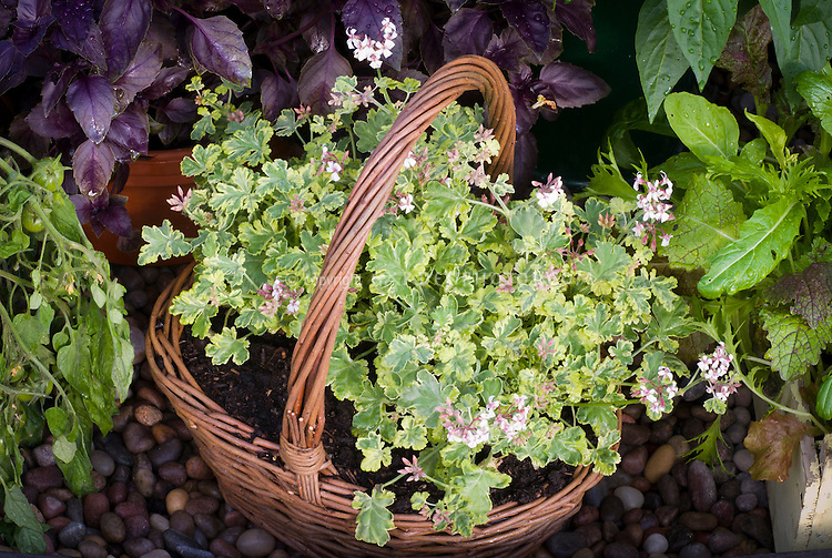 """Pelargonium 'Fragrans Variegatum"""" scented geranium in flower, with variegated leaves, in wicker basket planter container pot, next to pots of purple basil herb Ocimum, mesclun greens, cherry tomatoes"""