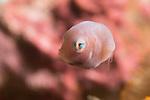 Taylor's Pygmy Leatherjacket Filefish; Brachaluteres taylori; Juv; File fish juvenile; Indonesia; Lembeh; underwater marine life; pink; dots 10-17-17-1019 pink bg