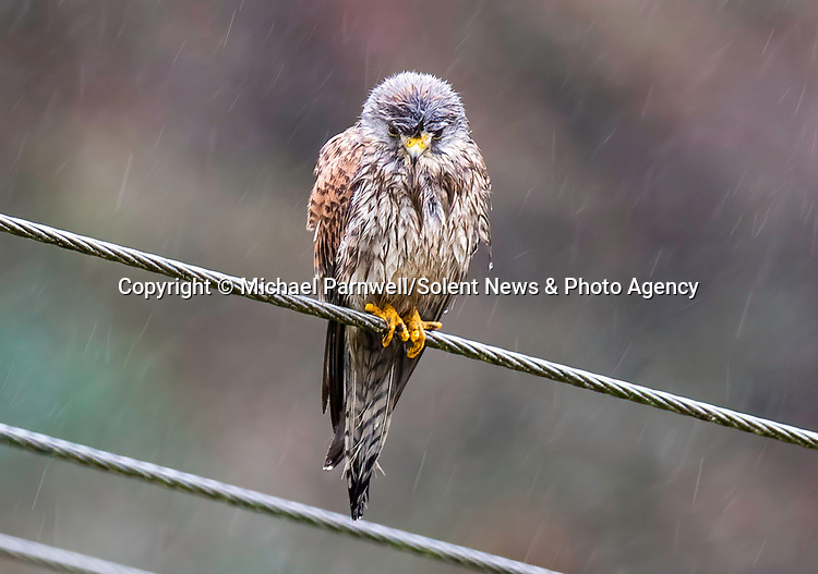 """Pictured:  The kestrel looking rather wet and a little soggy before shaking itself off.<br /> <br /> A kestrel appears to 'spin dry' itself by shaking its head vigorously after getting soaked in a downpour.  The bird of prey perches on a thin wire fence and periodically attempts to dry out its sodden feathers.<br /> <br /> The rare bird was photographed by retired university lecturer Michael Parnwell at a spot overlooking Cragg Vale, in West Yorkshire.  Prof Parnwell, 67, who lives in nearby Saltaire, said: """"I had noticed that every few minutes the kestrel would have a shake to dislodge the accumulating rain water, so I waited to try to capture this with a modicum of motion blur.  SEE OUR COPY FOR DETAILS.<br /> <br /> Please byline: Michael Parnwell/Solent News<br /> <br /> © Michael Parnwell/Solent News & Photo Agency<br /> UK +44 (0) 2380 458800"""